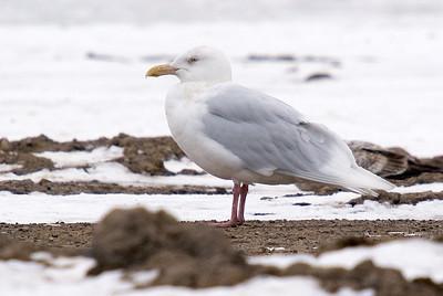 Glaucous Gull (Adult)
