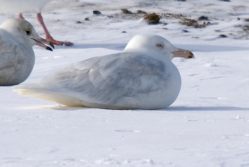 3rd winter Glaucous Gull