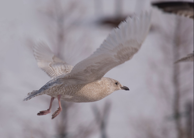 First Cycle Iceland Gull - January