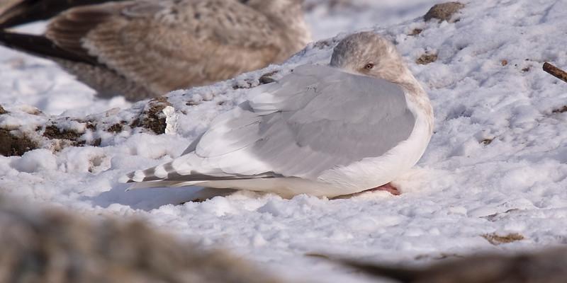 Kumlien's Iceland Gull (adult, basic/non-breeding) - January.