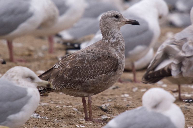 """""""I would call this a molting juvenile Thayer's Gull. Cannot see the wing tips but can see the culmen-loral-eye relationship which speaks to Thayer's not to Herring. There are remaining worn brown juvenile scapulars, some with white edge spotting. There also appear to be a few fresher incoming first basic upper scapulars and these are darker and smaller. Mixed in with these are scapulars that may be new and look to be brownish gray in colour. A variegated appearance for sure on this bird. It is also rare to have photographed a early second calendar Thayer's that is not essentially in full juvenile plumage. """" (Thanks to my friend Kevin for his insights)"""