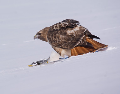 Red-tailed Hawk feeding on Ring-billed Gull