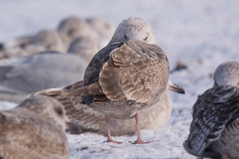 ? a bleached Herring Gull ?
