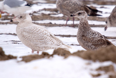 Glaucous Gull on left. On the right....suspect female Herring Gull