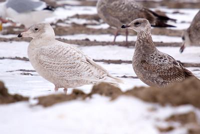 Glaucous Gull on left. On the right....suspect female Herring Gull