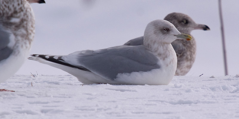 January: My impression for this gull is adult Thayer's Gull. But as you will perhaps see with the images that follow...arguments for a continuum from glaucoides through to thayeri seem to have some merit.