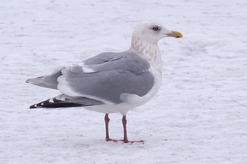 Adult Thayer's Gull - January