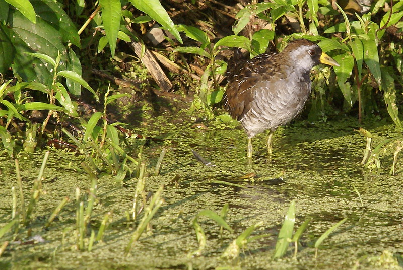 Adult Sora watching from the shoreline