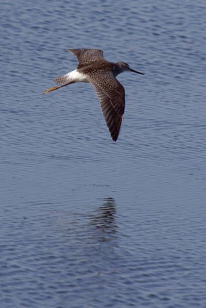 Lesser Yellowlegs in flight