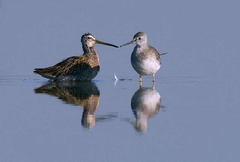 Short-billed Dowitcher and Lesser Yellowlegs share a moment.