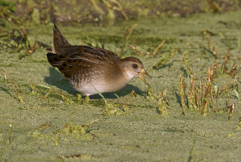 Young Sora foraging