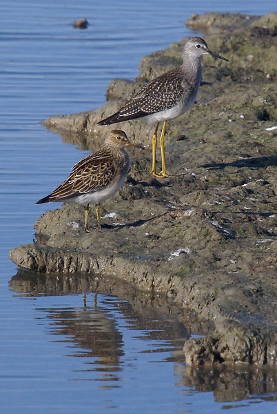 Pectoral Sandpiper standing in front of a Lesser Yellowlegs