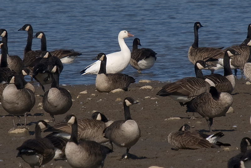 Snow Goose in flock of Canada Geese