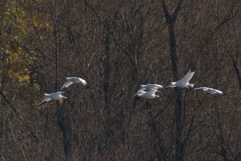 5 Ross's Geese and 1 snow goose (second from right)
