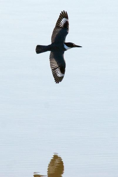 Belted Kingfisher strongly backlit.