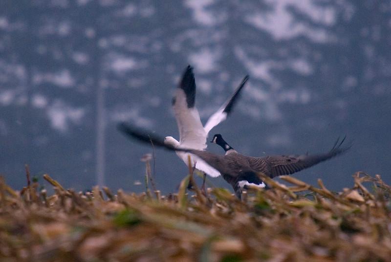 Snow Goose takes flight. Saturday September, 27th, 2008.