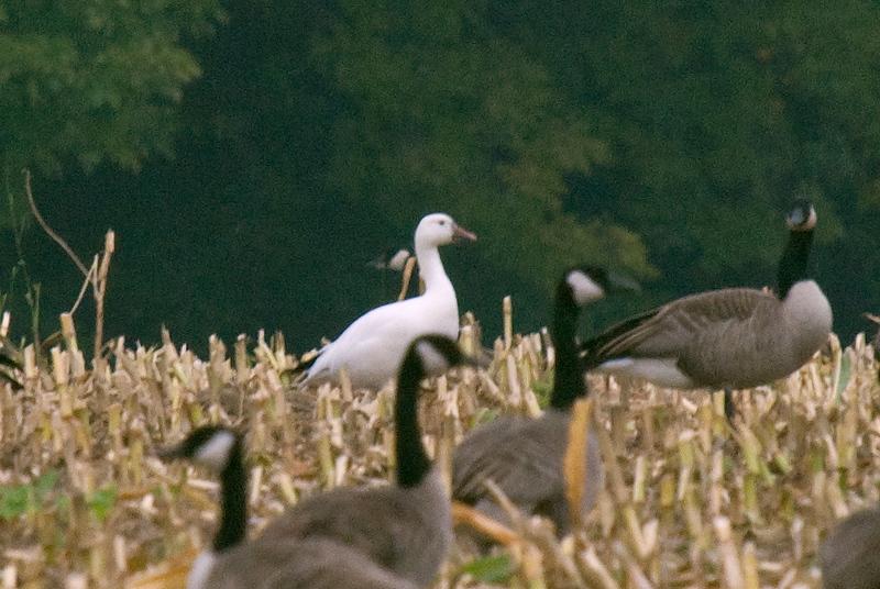 Snow Goose in farmer's field. Saturday, September 27, 2008.