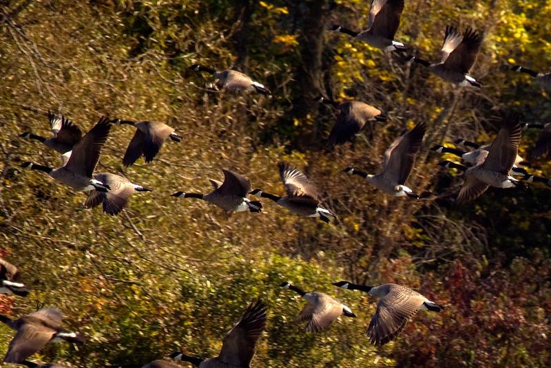 Canada Geese take flight