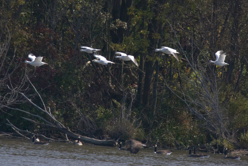 5 Ross's Geese and 1 Snow Goose (2nd from right)