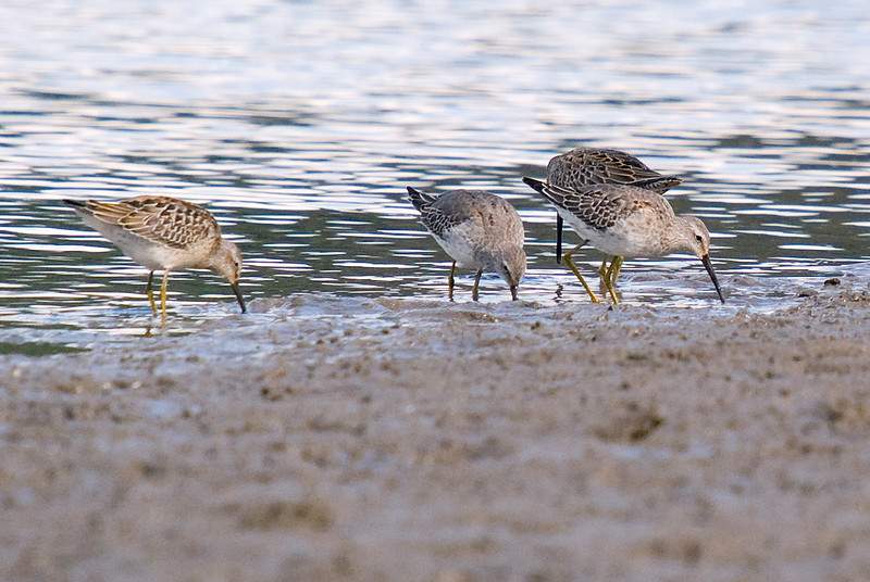 3 Stilt Sandpipers with a Long-billed Dowitcher