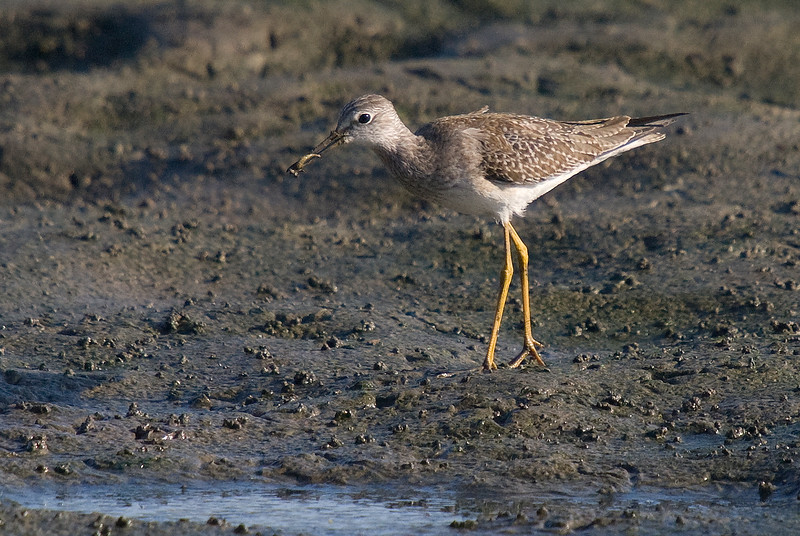 Lesser Yellowlegs finds a treat in the mud.
