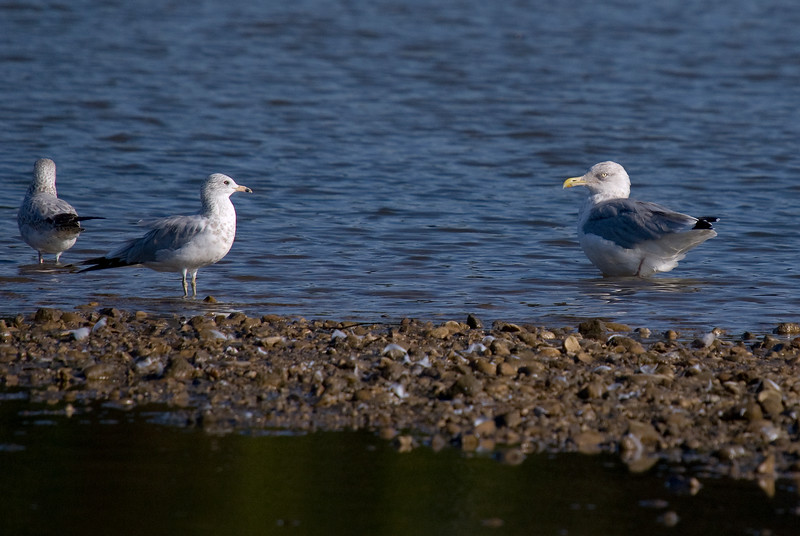 A couple of gulls. Ring-billed on left and Herring on right.