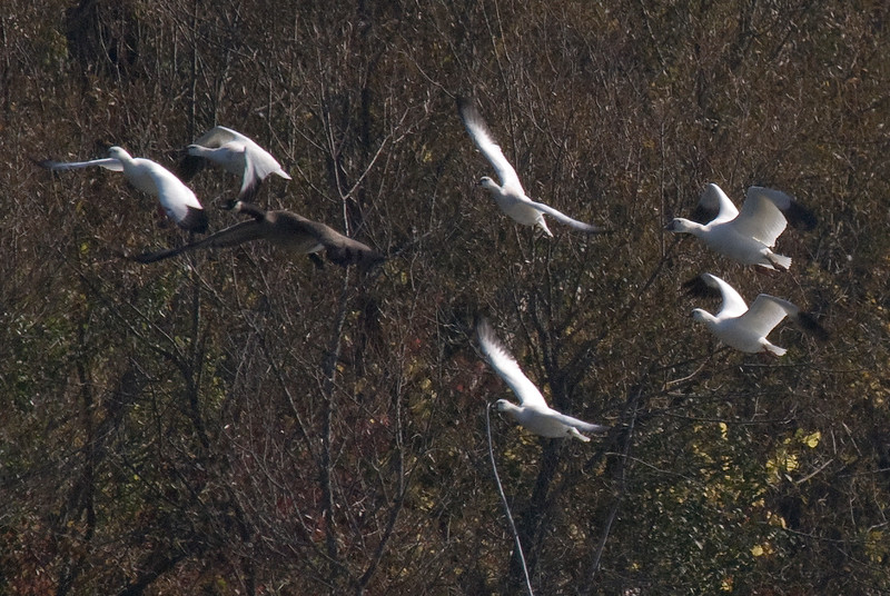 5 Ross's Geese with 1 Snow Goose top right. (and 1 canada goose bottom left)