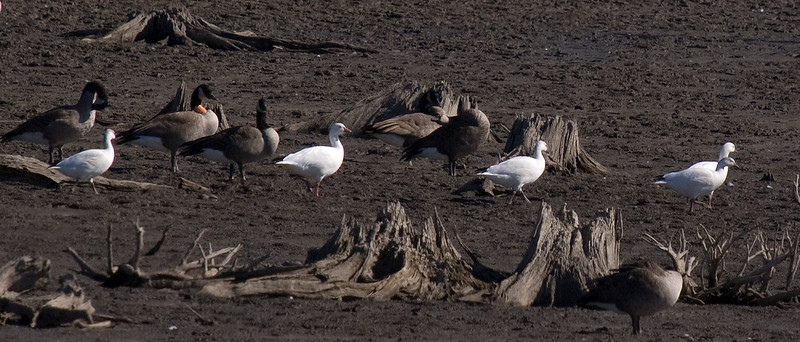 Another mixed flock found at Wildwood on October 10, 2008. <br /> i believe they are (left to right): Juvenile Ross, Adult Snow, Juvenile Ross, Adult Ross (back), juvenile Snow(front)