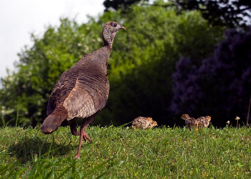 Wild Turkey family (Female with chicks)