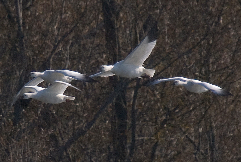 3 Ross's Geese, and 1 snow goose (second from right)