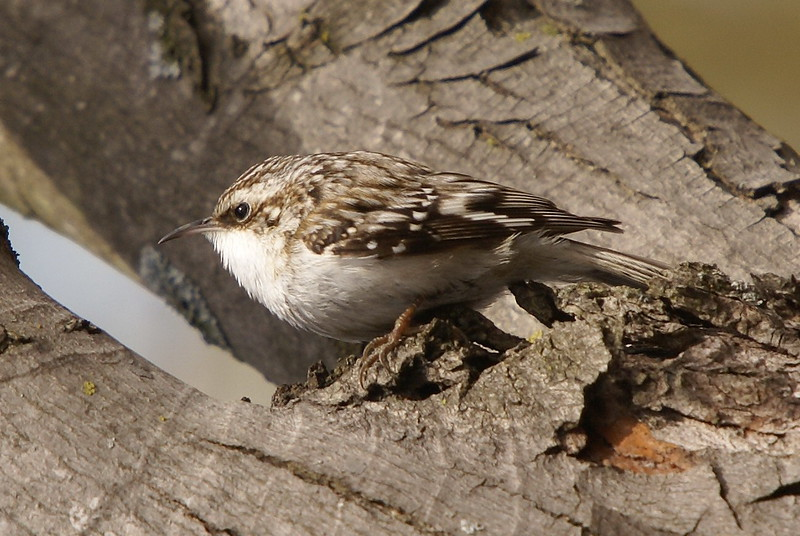 Brown Creeper (rotated 90 degrees)