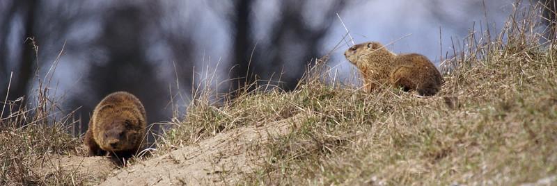 Groundhog pair