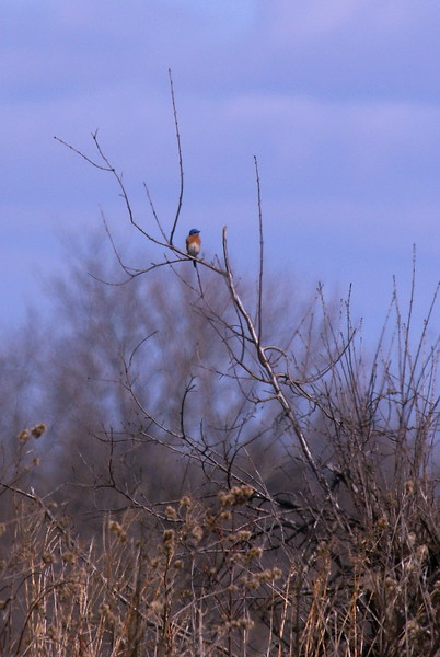 My first Eastern Bluebird sighting ever. I hope to get some better shots this summer.
