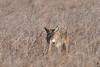 This coyote is gulping down a rodent