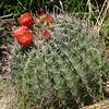 fish-hook barrel cactus