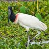 jabiru storks were abundant