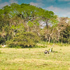 the pantanal is a mix of ranchland, savanna and wetlands