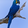 hyacinth macaw -- one of the icons of the pantanal
