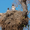 jabiru nests are commonly shared by monk parakeets 'downstairs'