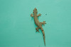 tropical (?) house gecko