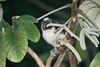 geoffrey's tamarin monkey from tower