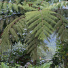 tree fern, rancho naturalista