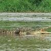 american crocodile, rio tarcoles