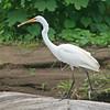 great egret, rio tarcoles
