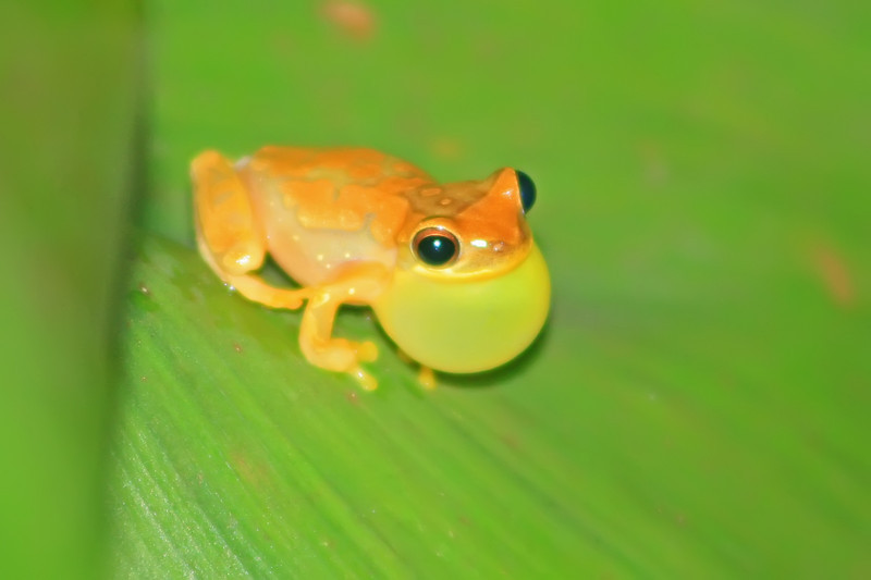 verigated tree frog (?), hotel villa lapas