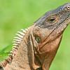 black iguana, hotel villa lapas
