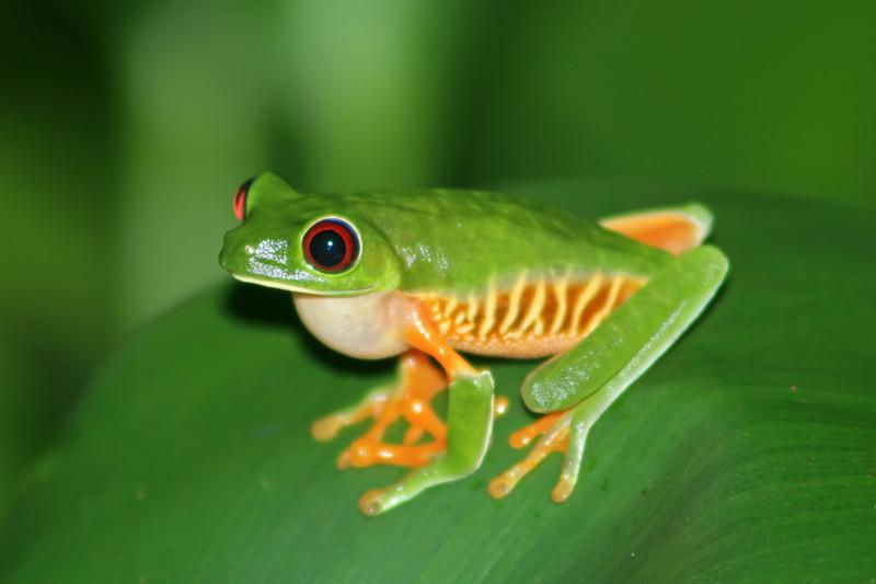 red-eyed leaf frog, hotel villa lapas
