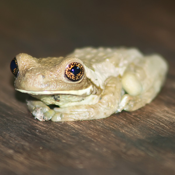drab tree frog, hotel villa lapas