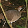 great tinamou, Carara NP