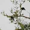 keel-billed toucans, rancho naturalista